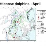 Bottlenose Dolphin - April