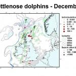 Bottlenose Dolphin - December