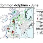 Short-Beaked Common Dolphin - June