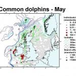 Short-Beaked Common Dolphin - May