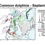 Short-Beaked Common Dolphin - September
