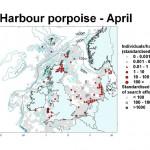 Harbour Porpoise - April