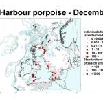Harbour Porpoise - December