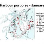 Harbour Porpoise - January