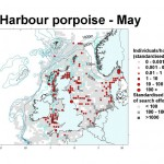 Harbour Porpoise - May