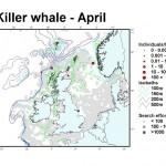 Killer Whale - April