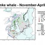 Minke whale distribution map - November-April