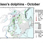 Risso's Dolphin - October