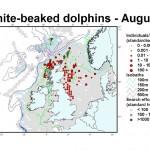 White-beaked Dolphin - August