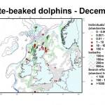 White-beaked Dolphin - December