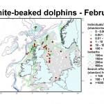 White-beaked Dolphin - February