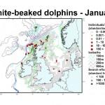 White-beaked Dolphin - January