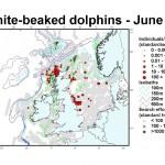White-beaked Dolphin - June