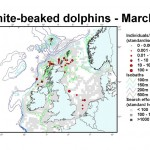 White-beaked Dolphin - March
