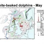 White-beaked Dolphin - May
