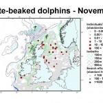 White-beaked Dolphin - October