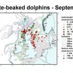 White-beaked Dolphin - September