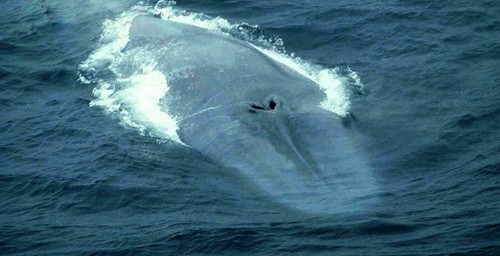 Blue Whale taken by Alex Aguilar in the Bay of Biscay