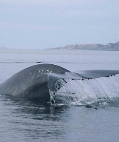 Blue Whale taken by Christopher Swann