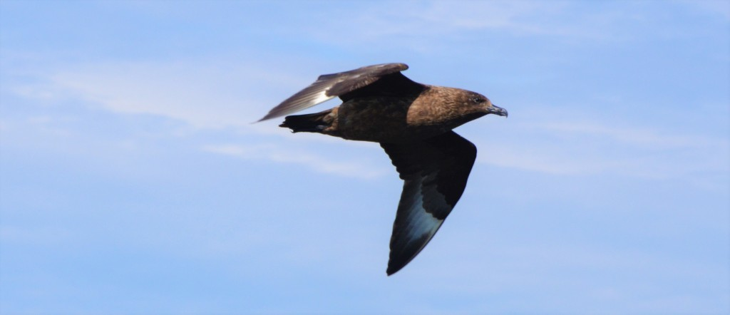 Great Skua. Copyright: Chiara G. Bertulli /  Sea Watch Foundation.