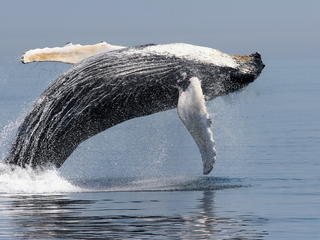 Blue Whale breaching Photo credit:  ©Amy Kennedy / NOAA https://www.worldwildlife.org/species/blue-whale