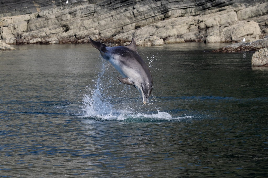 Breachin bottlenose dolphin by Katrin Lohrengel/SWF