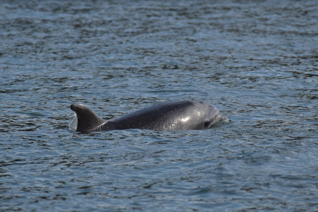 Bottlenose dolphin spotted on Josh's Coastal Walk / Josh Pedley @mywildlifeposts