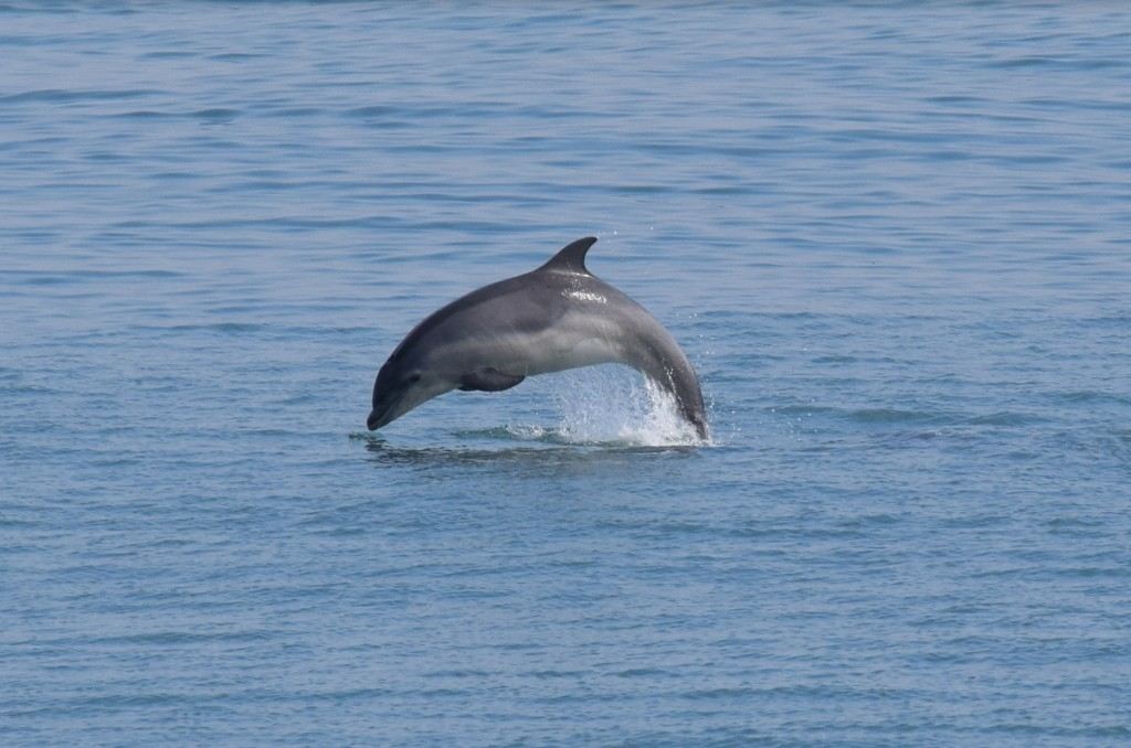 Bottlenose dolphin spotted by Josh on his Coastal Walk / Josh Pedley @mywildlifeposts