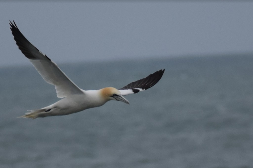 Gannet spotted by Josh on his Coastal Walk / Josh Pedley @mywildlifeposts