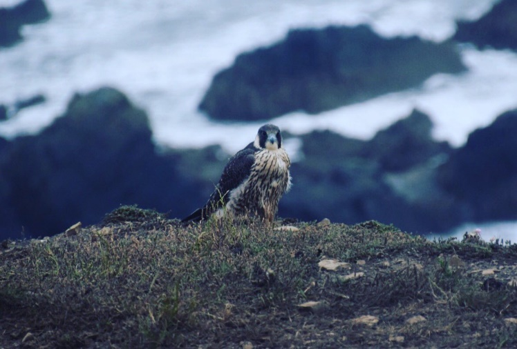 Peregrine falcon on the cliff tops out of New Quay/ Josh Pedley