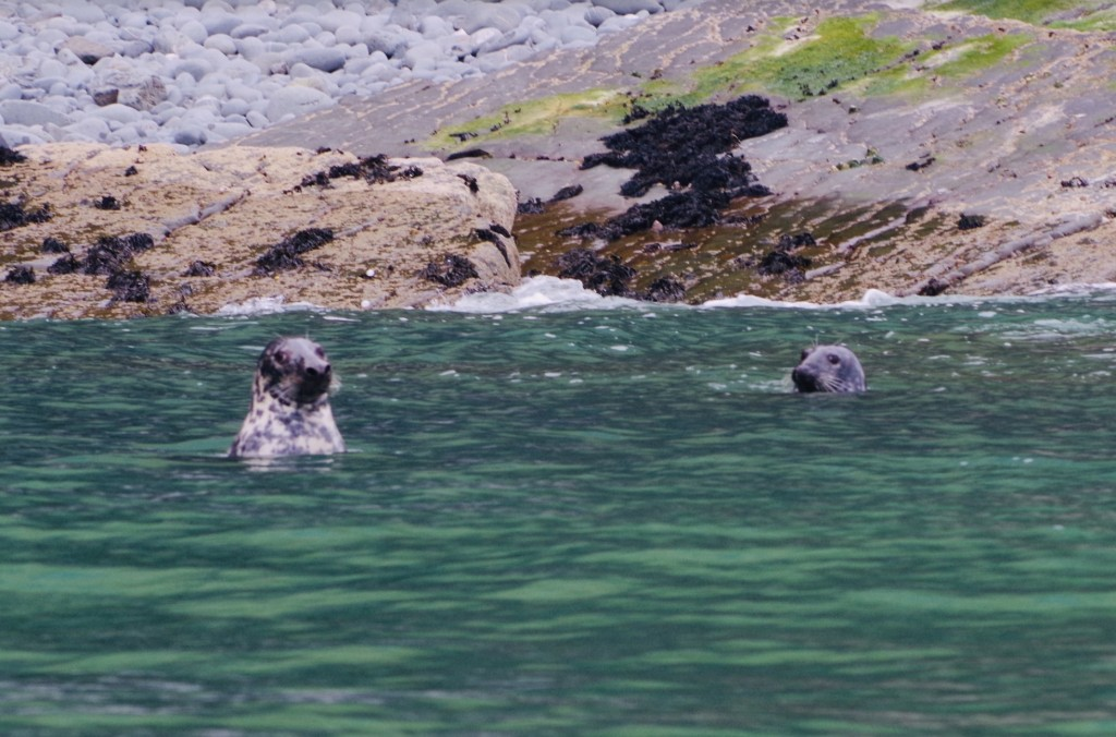 Atlantic grey seals sighted on a trip with Dolphin Spotting Boating Trips / Isabel Griffiths and Sea Watch Foundation
