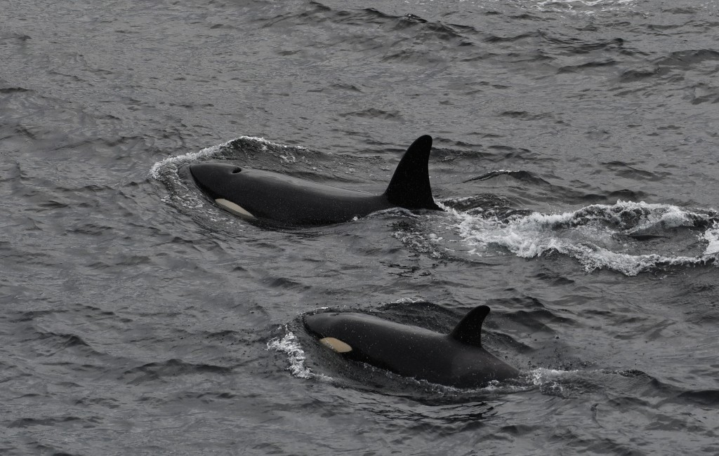 Orcas  photographed off Burwick, on May 25st, 2019. Photo credit: Robert Foubister.