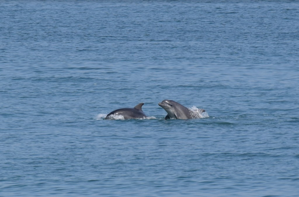 Bottlenose dolphins spotted from New Quay pier/ Josh Pedley @mywildlifeposts and Sea Watch Foundation