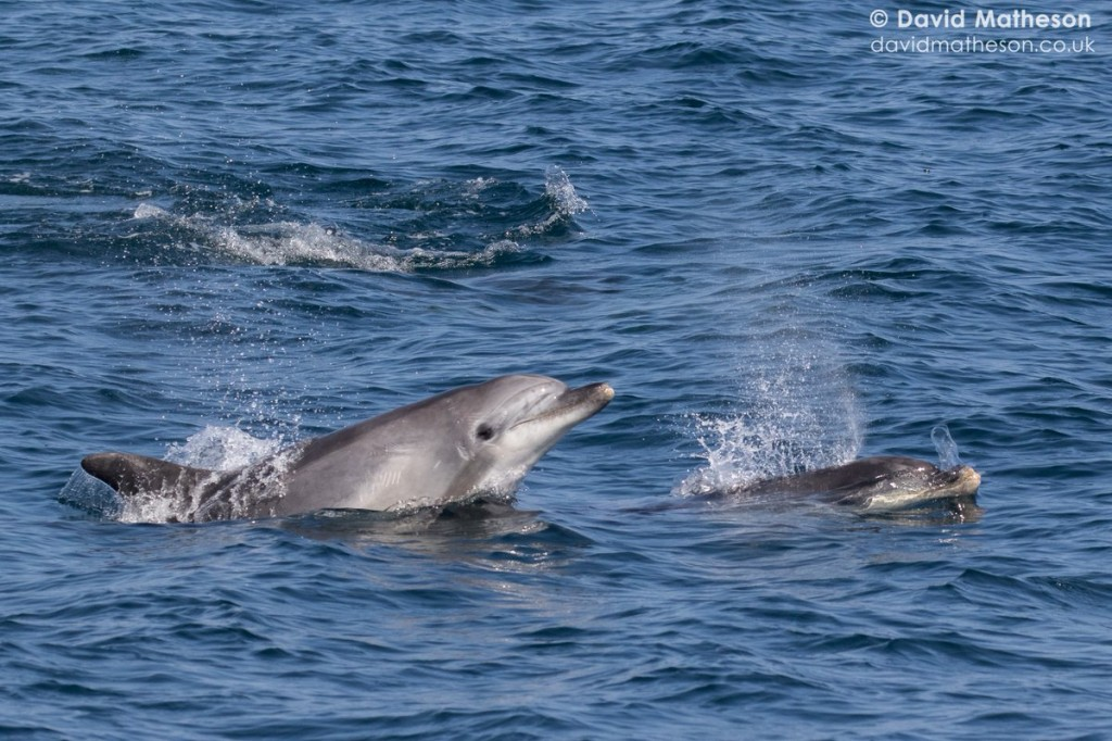 Bottlenose dolphins photographed off Falmouth, Cornwall. Photo credit: David Matheson
