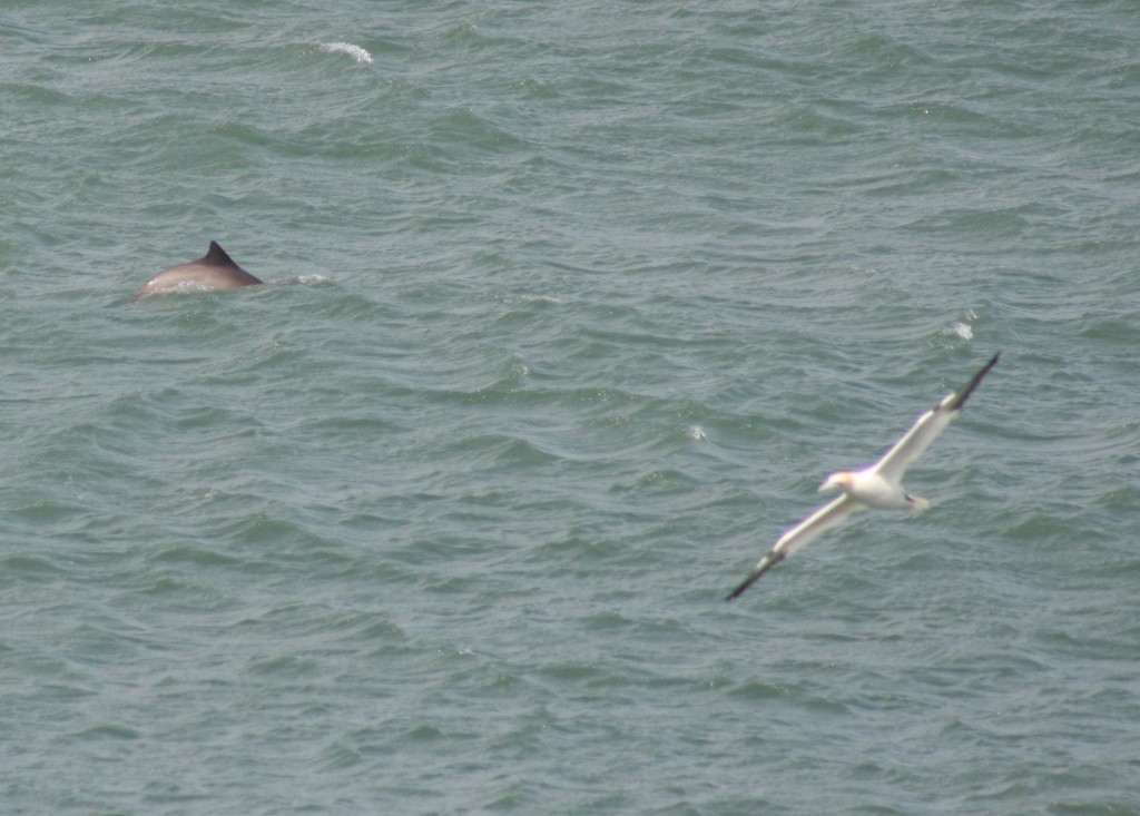 Harbour porpoise photographed off Point Lynas, Anglesey. Photo credit: Ben Murcott