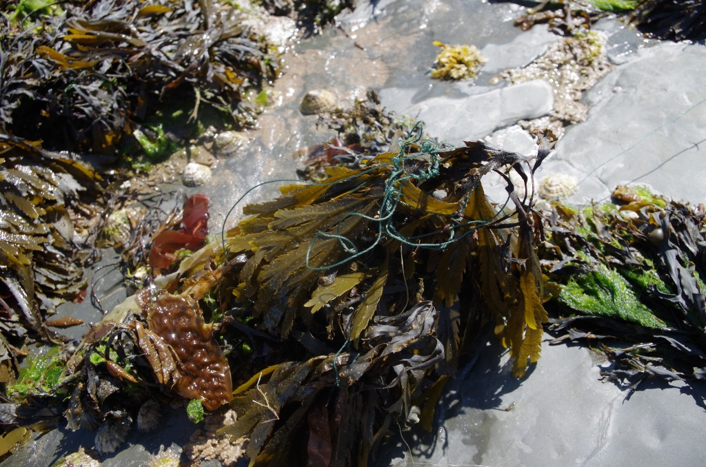 Plastic caught in seaweed / Isabel Griffiths