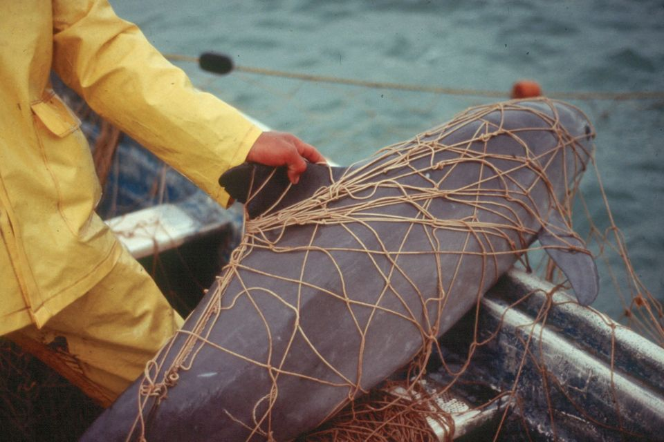 Vaquita caught in a gillnet / NOAA