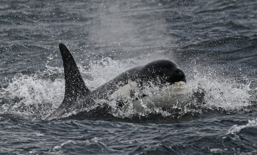 A 12s Group orca photgraphed by Ryan Nisbet on 31/5/21