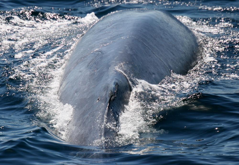 Blue WhalePeter Evans