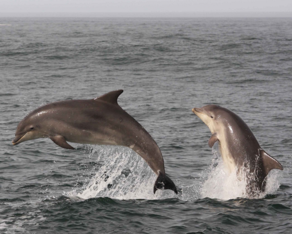 Bottlenosedolphins Pia Anderwald