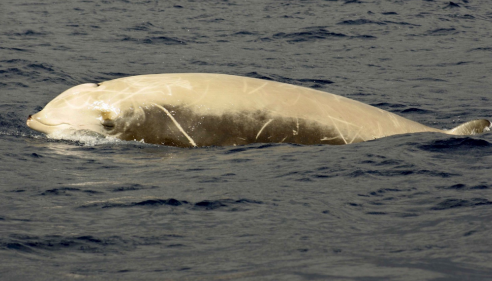 Cuvier's Beaked Whale Natacha Aguilar de Soto