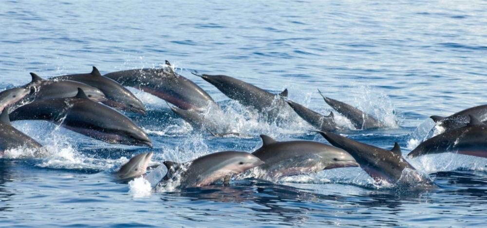 Fraser's Dolphin Christopher Swan