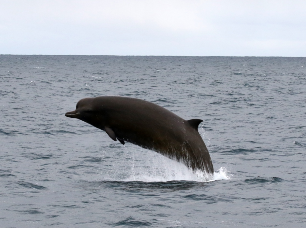 Northern Bottlenose WhaleSaana Isojunno