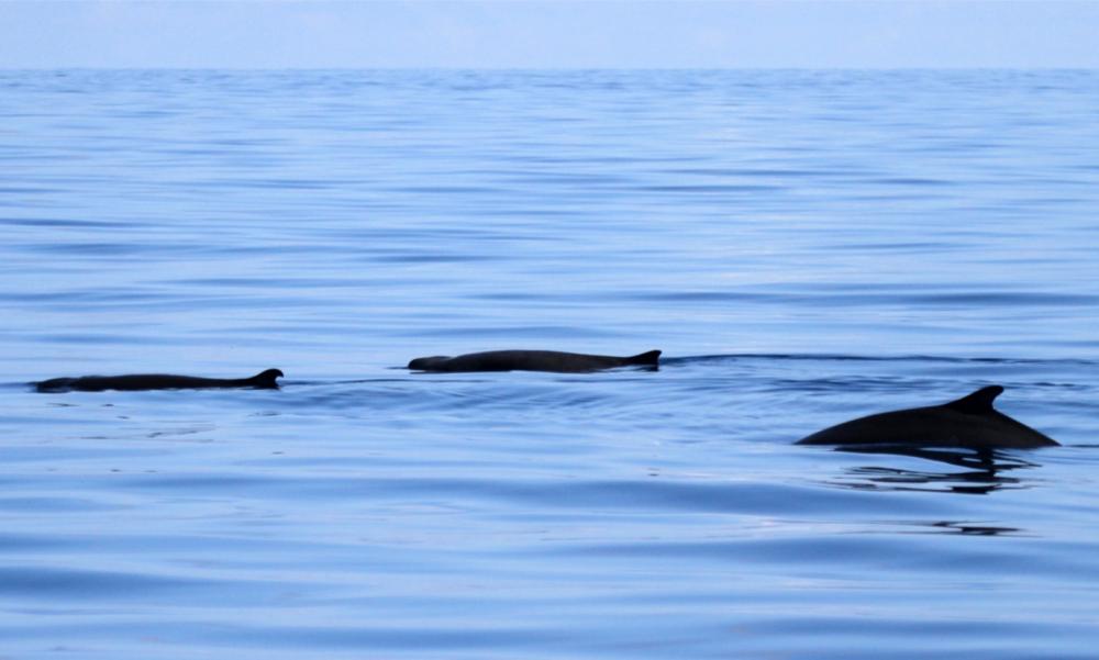 Pygmy Sperm WhaleRui Peres Santos