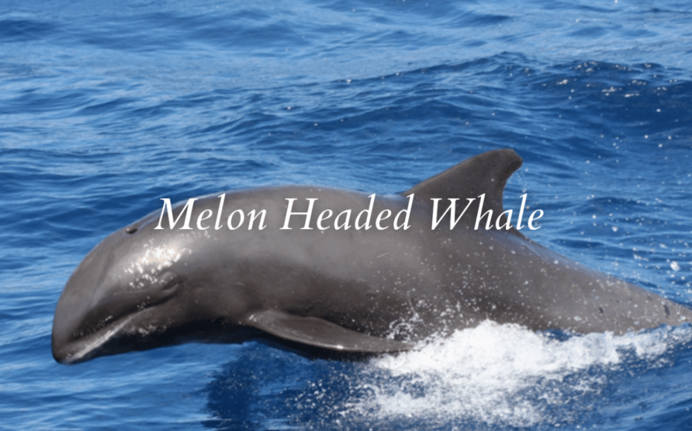 Melon-headed Whale