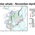 Minke whale distribution map - November-April