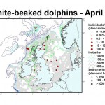 White-beaked Dolphin - April