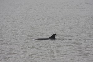 "The surfacing dorsal fin of one of Sea Watch's most beloved dolphins known as ""Smoothy"""