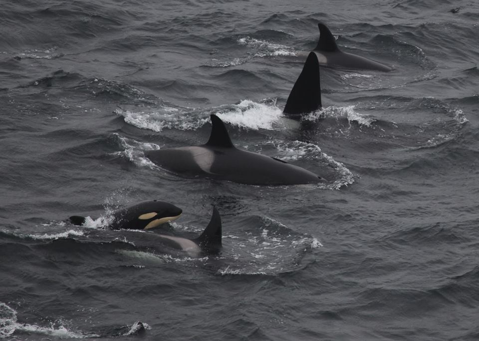 Killer whales passing members of the Orcawatch team at Duncansby Head on May 20th 2013