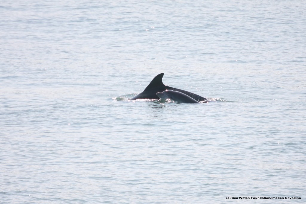A selection of mother and calf pairs photographed from the pier in New Quay over the past few months.
